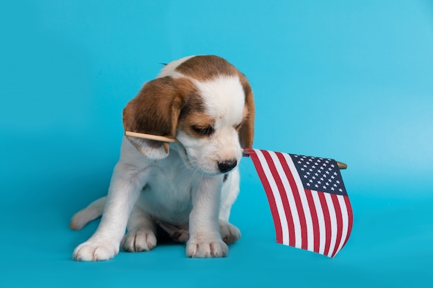 Cute of beagle clever puppy with flag american in the mouth