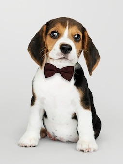 Cute beagle in a dark brown bow tie