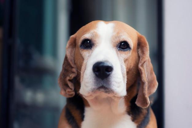 귀여운 비글 강아지 거짓말 초상화
