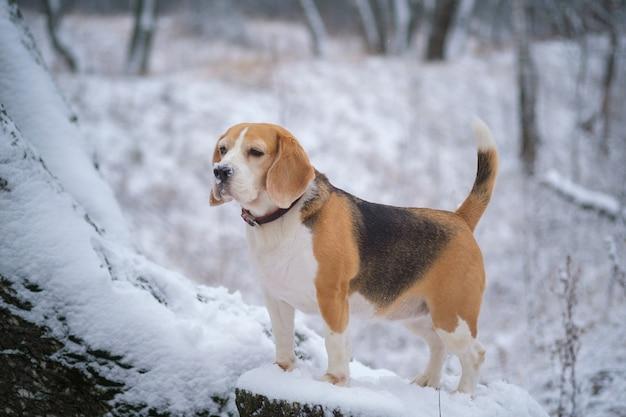 雪の降る冬の公園を散歩するかわいいビーグル犬