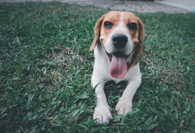 Милая собака породы бигль играет на открытом воздухе в парке в солнечный день, ожидая команды от своего владельца