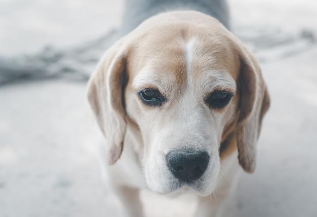 Милая собака породы бигль играет на открытом воздухе в парке в солнечный день, ожидая команды от владельца