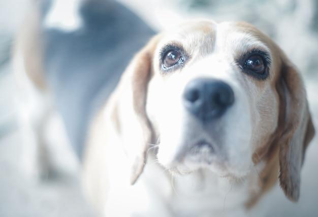 晴れた日に公園で野外で遊んでいるかわいいビーグル犬が飼い主からの命令を待っています