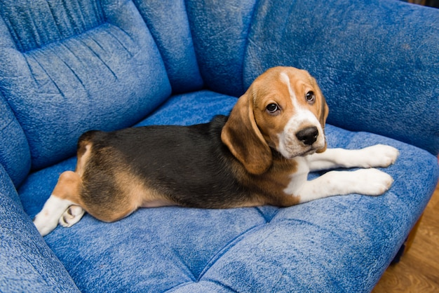 Cute beagle dog relax at the blue couch