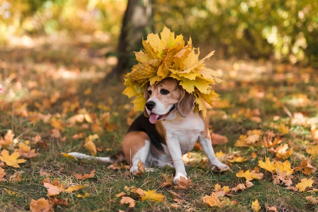 Cute beagle dog with sticking out tongue wearing maple leaves hat