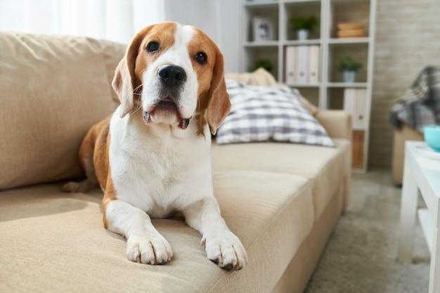 Cute beagle lying on a sofa