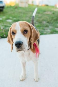 Ritratto di beagle carino