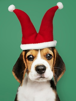 Cute beagle puppy in a jester hat