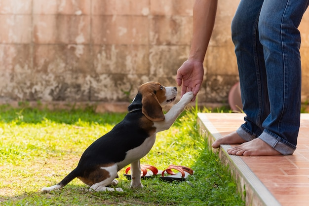 Cute beagle puppy playing with owner