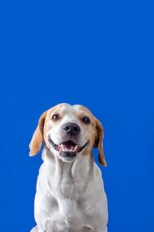 青い固体の背景に笑みを浮かべてかわいいビーグルの子犬