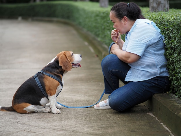 Cute beagle sat still, listening to the owner, training to wait.