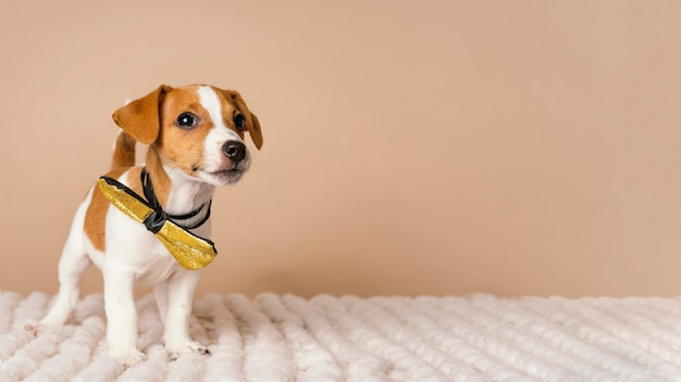 Cute beagle wearing yellow bow time