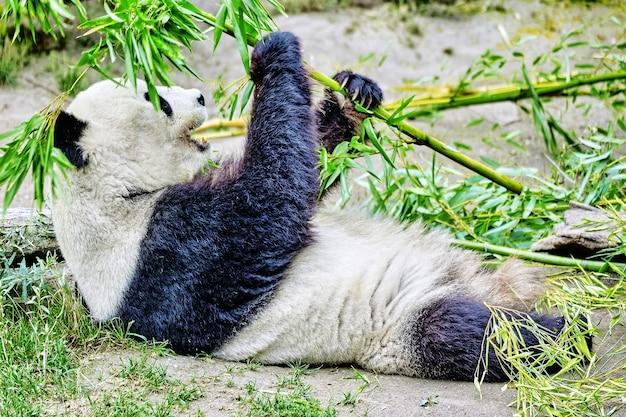 귀여운 곰 팬더는 녹색 대나무 새싹을 적극적으로 씹습니다.