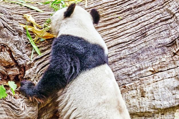 귀여운 곰 팬더는 서재 주변의 자연을 걷습니다.