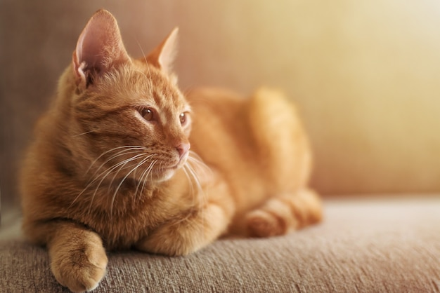 Cute beautiful funny ginger tabby cat lies on a sofa in sun bright, pets and furniture protection concept