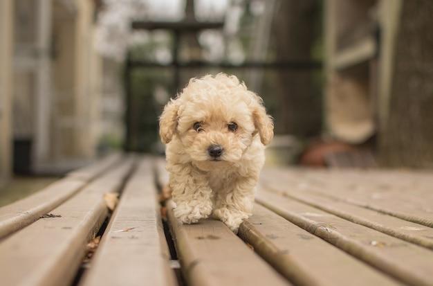 木製のデッキの上を歩くかわいいベージュのシープーマルプー犬