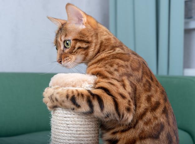リビングルームでスクラッチポストで遊ぶかわいいベンガル猫