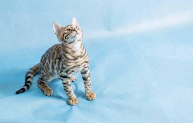 Un simpatico gattino bengala che osserva in su