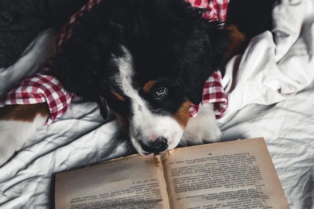 本と眼鏡をかけた毛布に赤いシャツを着たかわいいバーニーズ・マウンテン・ドッグ。