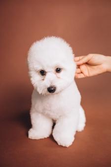 스튜디오에서 포즈를 취하는 귀여운 비숑 프리제 강아지