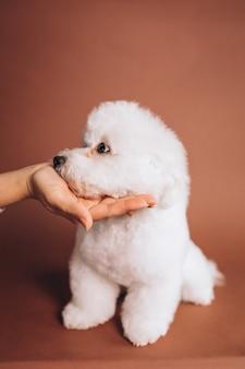 Simpatico cucciolo di bichon frise in posa in studio