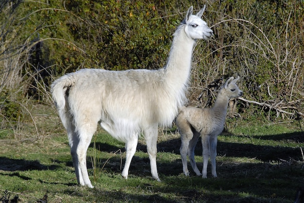 Cute big and baby llamas standing together in a park