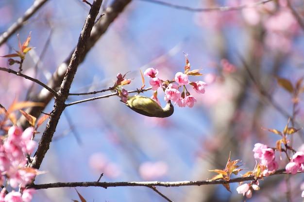 Cute bird mountain bulbul and sakura pink flower, bird on sakura tree in ang khang nation park, chiang mai, thailand