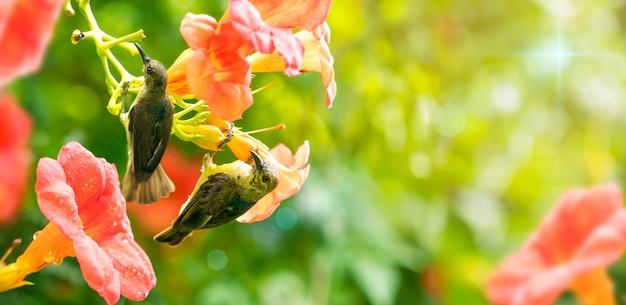 귀여운 새 올리브 백업 sunbird 오렌지 꽃에서 꽃가루에서 꿀을 마신다. 여름 아침에.