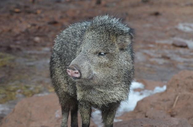 Симпатичная черно-коричневая свинья-скунс пекари в дикой природе