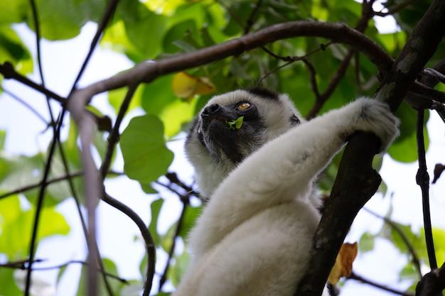 Милый черно-белый лемур на дереве