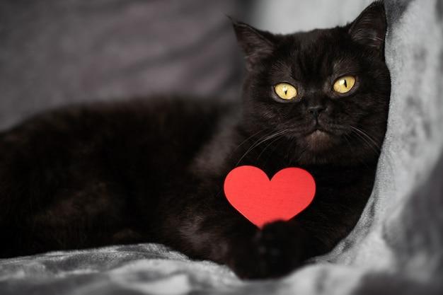 Милый черный кот лежит на кровати с красным сердцем в лапах, смотрит в камеру, портрет крупным планом. день святого валентина и концепция любви