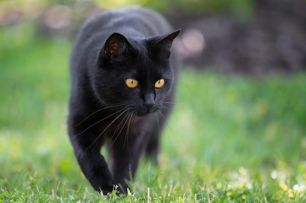 Милый черный кот гуляет крупным планом