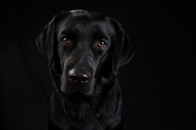 Cute black dog looking at camera on black