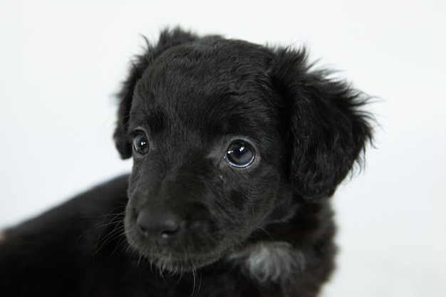 Cute black flat-coated retriever dog with a humble facial expression