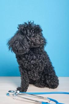 青い壁にかわいい黒いふわふわトイプードルと聴診器、犬は獣医クリニックのテーブルに座っています