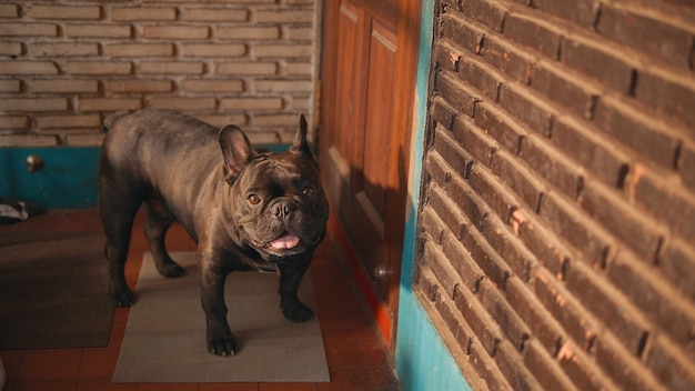 Cute black french bulldog  infront of the door.