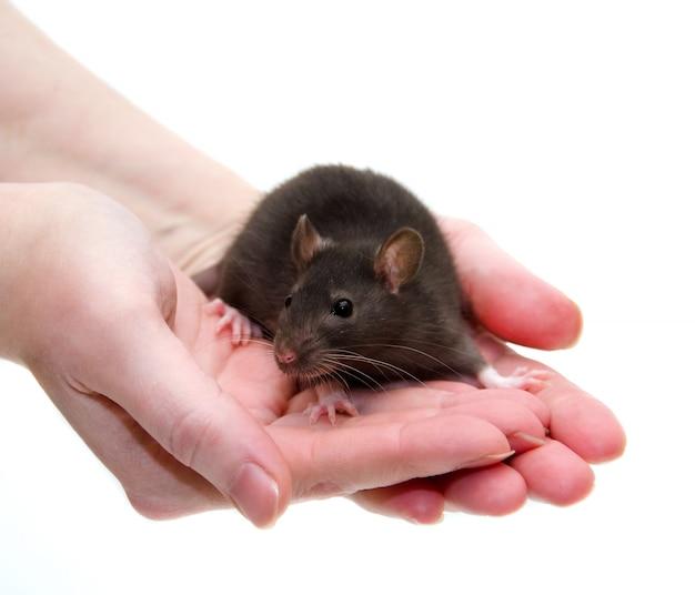 Cute black laboratory rat baby in human hands