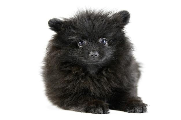 座っているかわいい黒いポメラニアンスピッツ子犬