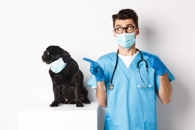 獣医クリニックの医師が指を指して、白の上に立っている間、プロモーションバナーを左に見ているフェイスマスクのかわいい黒いパグ犬。
