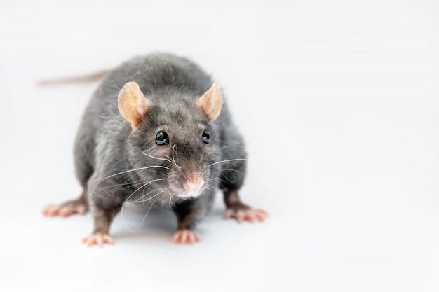Милая черная крыса на сером пространстве