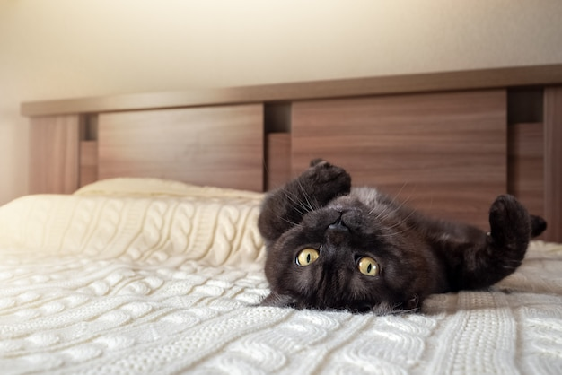 Милый черный полосатый кот расслабиться на кровати, лежа на спине