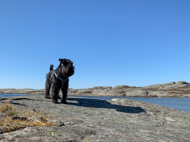 Cute black terrier and its shadow standing on a rock beside a river under a clear blue sky