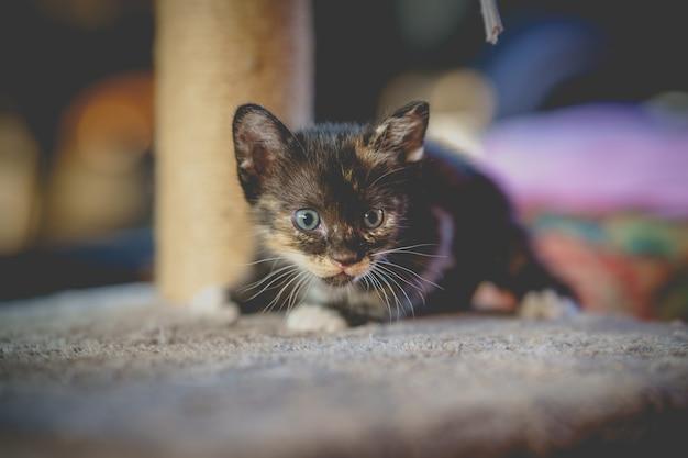 Милый черный тайский котенок сидит и смотрит в камеру на кошачьей постели.