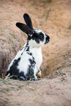 地面に穴を掘るかわいい黒と白のウサギ。