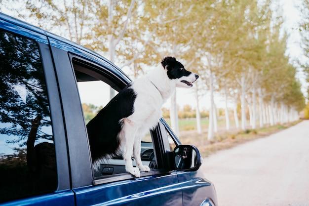 Милая собака колли границы смотря окном фургон. концепция путешествия