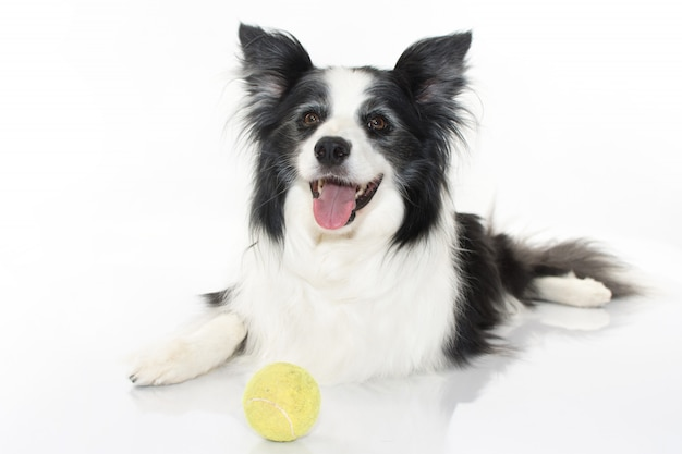 Cute border collie sitting with its tennis ball isolated on white background