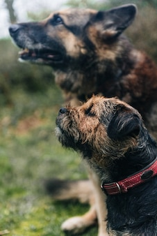 귀여운 국경 테리어 강아지와 잔디에 앉아 독일 셰퍼드