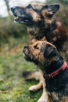 Cane sveglio del terrier di confine e un pastore tedesco che si siede sull'erba