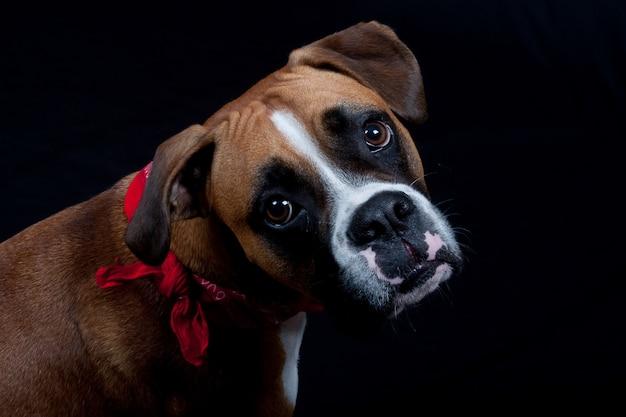 Cute boxer dog on black
