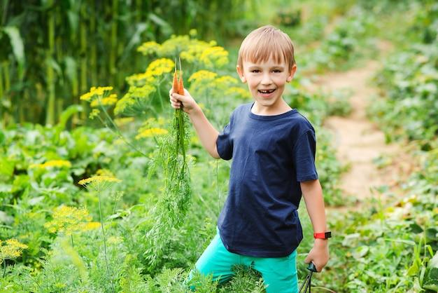 Cute boy picking carrots in a garden. vegetable garden. little gardener with bunch of carrots. gardening.